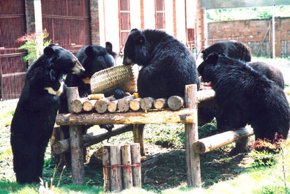 Bears picnicing. Photo: Animals Asia Foundation